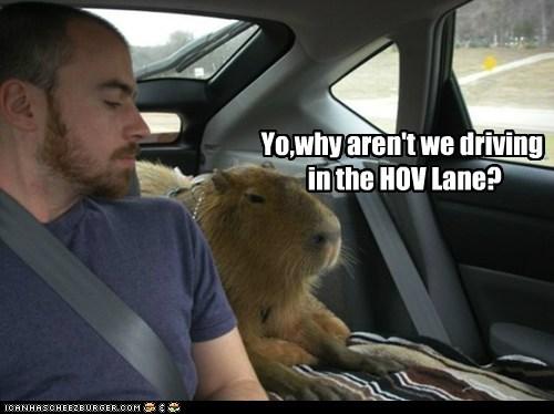 backseat driver,capybara,car,driving,fast lane,HOVl lane