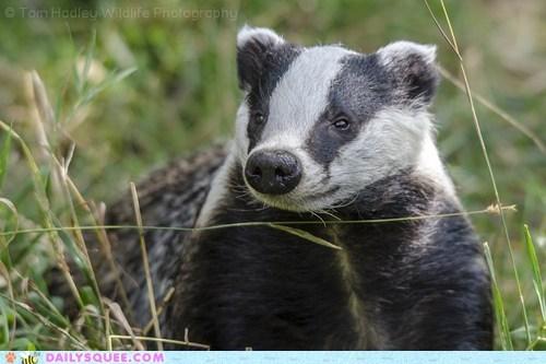 It's a Badger!