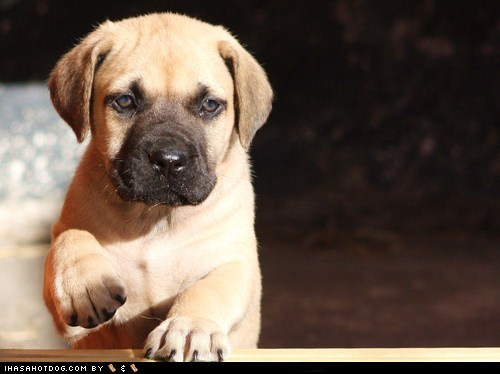 Cyoot Puppy ob teh Day: Tiny Mastiff