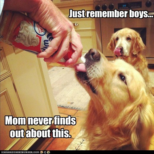 dogs,golden retriever,whipped cream,secret,dont-tell-mom,treat