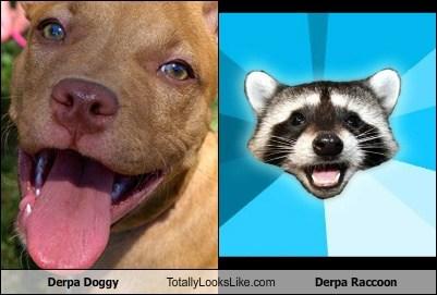 Derpa Doggy Totally Looks Like Derpa Raccoon