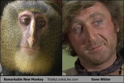 Totally Looks Like: Remarkable New Monkey Totally Looks Like Gene Wilder