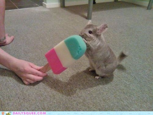 Chinchilla Enjoying a Popsicle