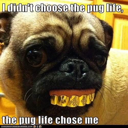 I didn't choose the pug life,  the pug life chose me