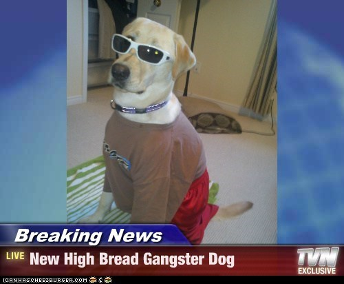 Breaking News - New High Bread Gangster Dog