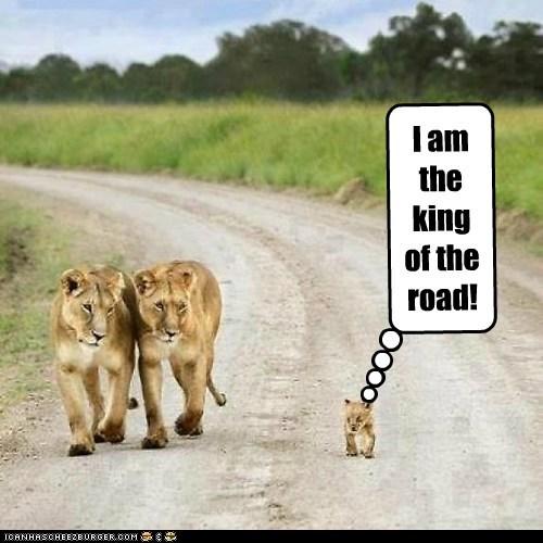 lions,cub,king,road,little,cocky,walking
