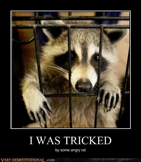 lab rat,raccoon,tricked