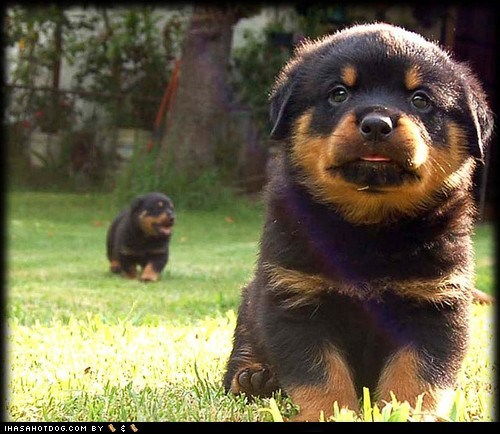 Cyoot Puppy ob teh Day: Tiny Rottweilers
