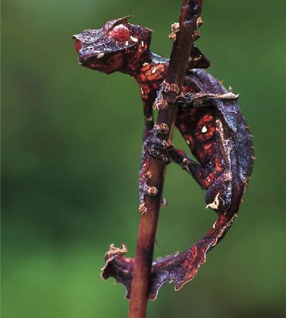 Creepicute: Satanic Leaf Tailed Gecko