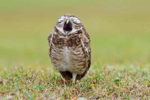 Opera Owl
