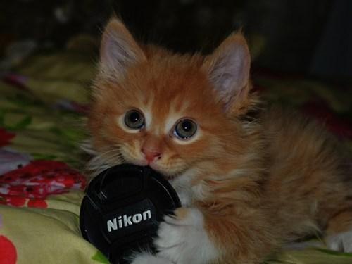 cameras,Cats,cyoot kitteh of teh day,kitten,lens cap,nikon