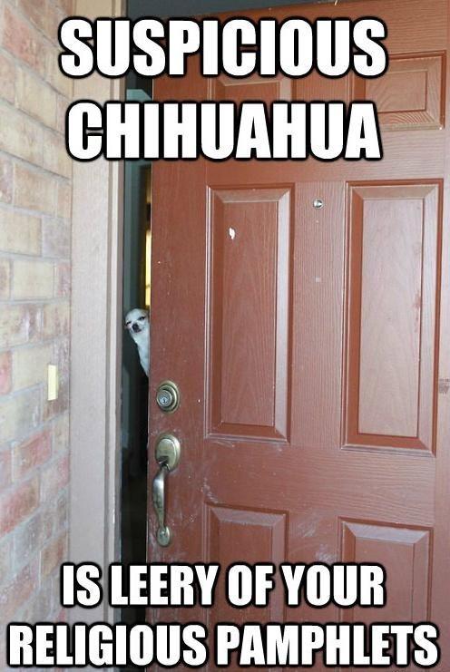 Suspicious Chihuahua