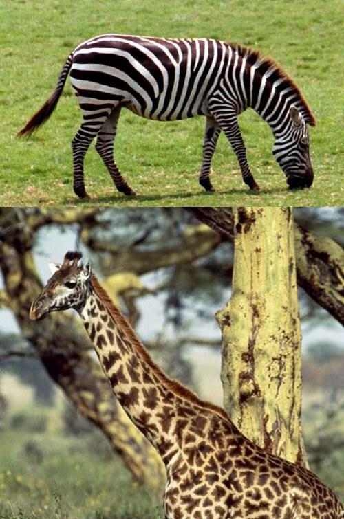 Squee Spree: Zebra vs. Giraffe