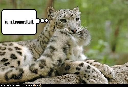 leopard,snow leopard,tail,biting,eating,tasty,yum