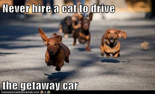 Never hire a cat to drive  the getaway car