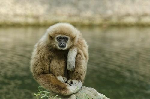 meditating,gibbon,monkey,lake,squee,meditation