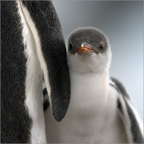 Squee Spree: Shy Penguin