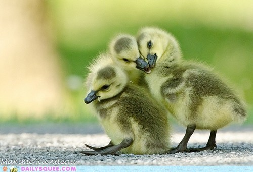 Floofy Ducklings