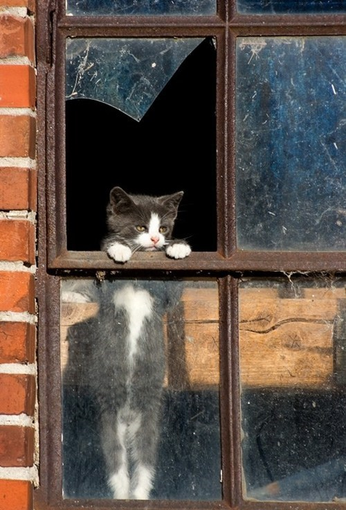Cats,cyoot kitteh of teh day,human-like,kitten,outside,standing,Staring,windows