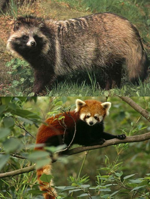 Squee Spree: Tanuki vs. Red Panda