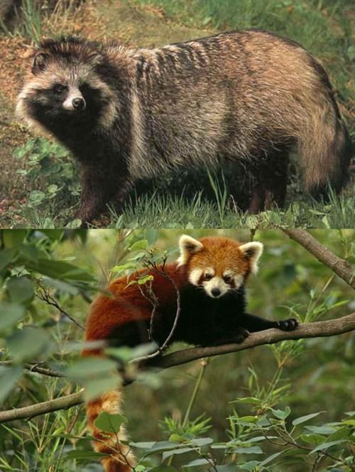 Squee Spree: Tanuki vs. Red Panda