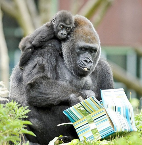 gifts,baby,presents,gorillas,mommy,squee