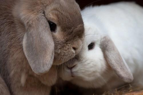bunny,cuddling,happy bunday,lops,rabbit