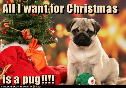 All I want for Christmas  is a pug!!!!