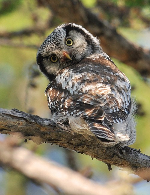 birds,paranoid,owls,feathers,squee