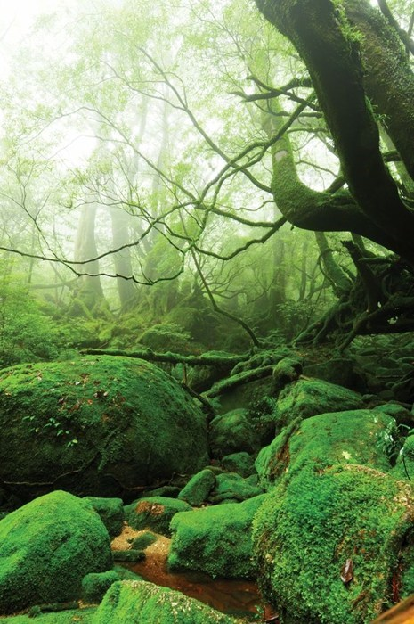 The Mossy Forests of Yakushima