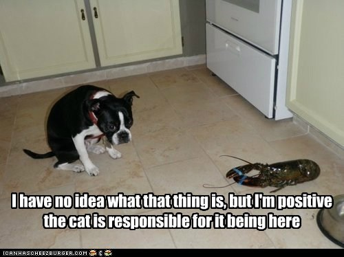 lobster,dogs,scared,the cat did it,kitchen,boston terrier