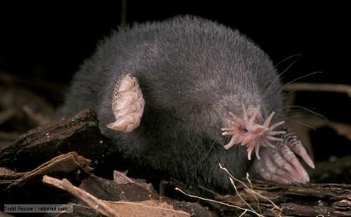 blind,claws,creepicute,feelers,mole,star nosed mole
