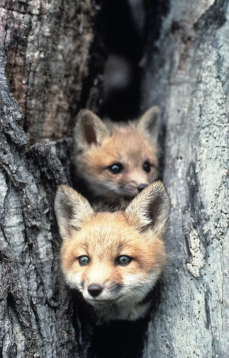 foxes,kits,hiding,squee