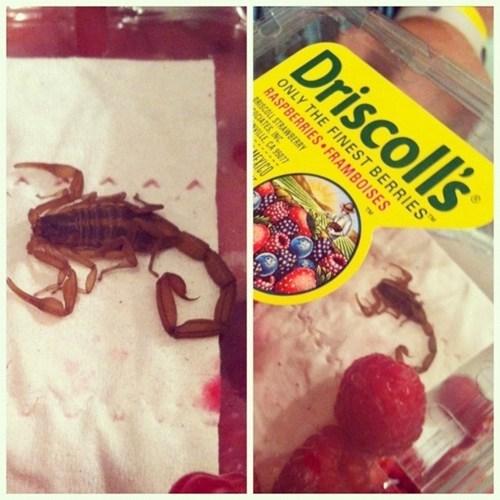 Scorpions? In MY Raspberries?