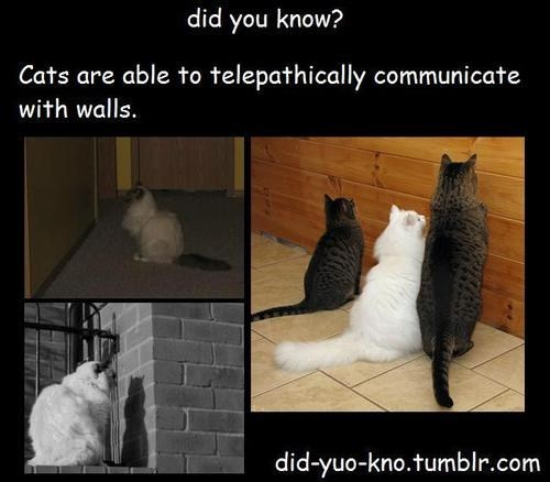did you know,did yuo kno,walls,telepathy,communication,cats are weird,Cats,lies