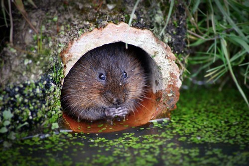 water vole,log,fuzzy,lake,squee,whiskers,chubby