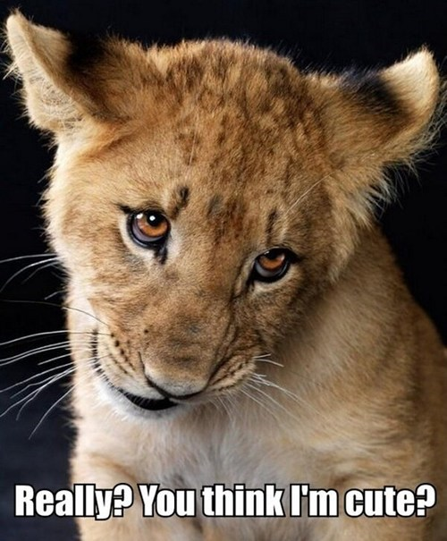 lions,Cats,big cats,cute,really,fishing for compliments,duh,captions