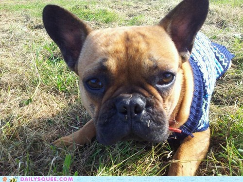 Reader Squee: Lonely Little Frenchie