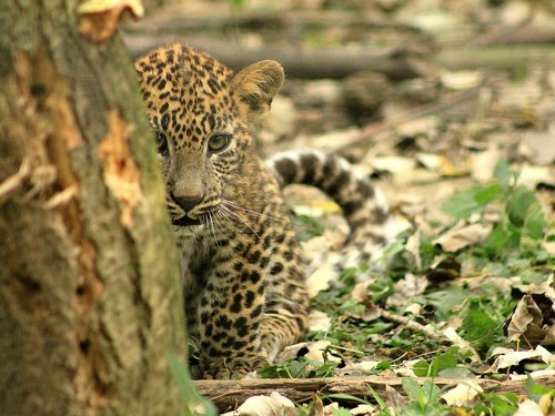 Spotted Cub