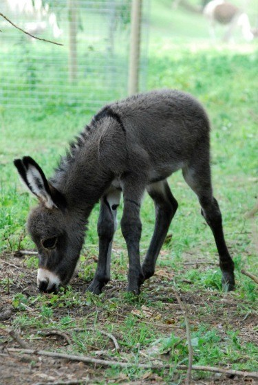 squee spree,donkey,miniature,mediterranean,baby,squee,categoryimage