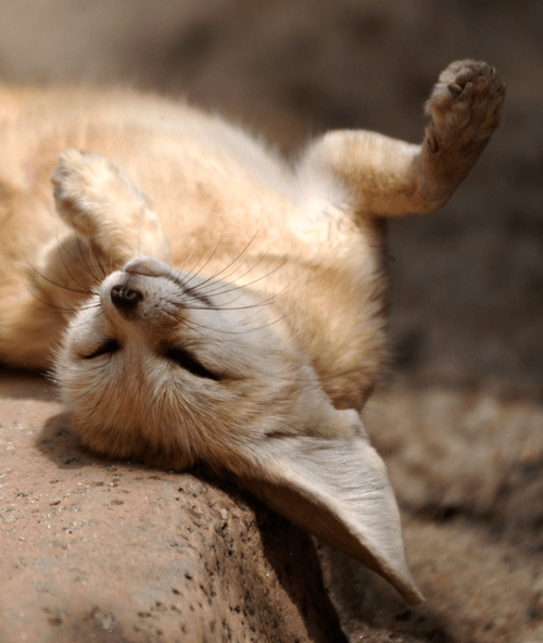 Fennec Fox Sunbathing