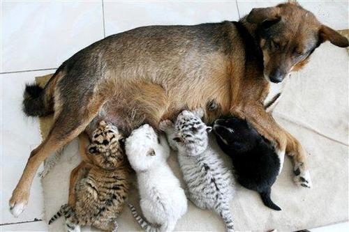 Babies,Interspecies Love,nursing,mommy,tiger cubs,dogs