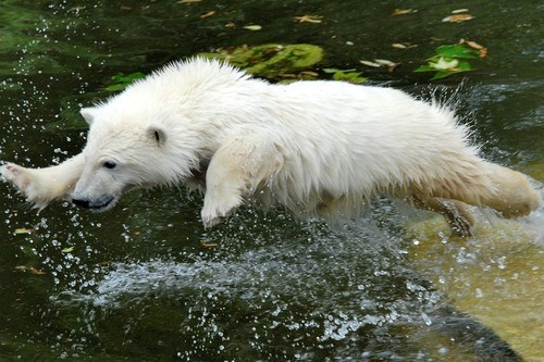 splashing,polar bear,water,ballerina,ballet,squee