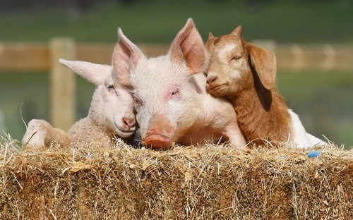 Interspecies Love,pig,goat,sheep,cuddle puddle,squee,barn,farm animals
