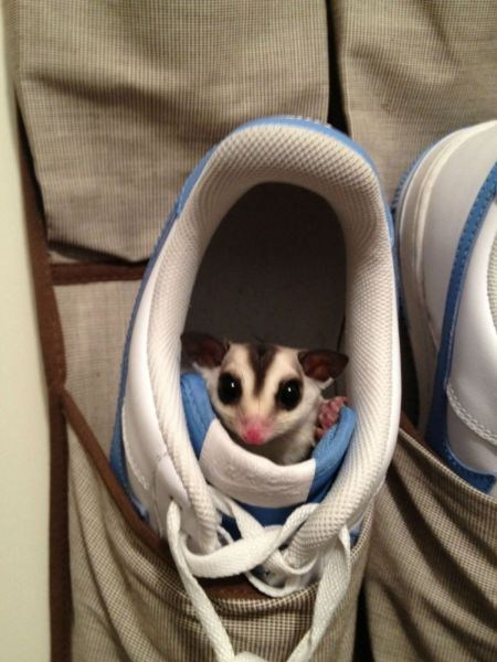 shoes,cute,sugar glider,sneakers,squee