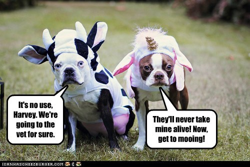 costume,unicorn,dogs,cow,french bulldogs,vet,boston terrier