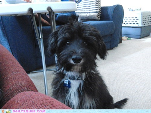 poodle,reader squee,mixed breed,pet,dogs,squee