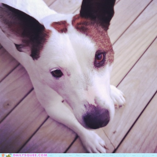 jack russel terrier mix,shedding,reader squee,pet,dogs,squee