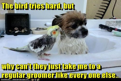 The bird tries hard, but  why can't they just take me to a regular groomer like every one else..