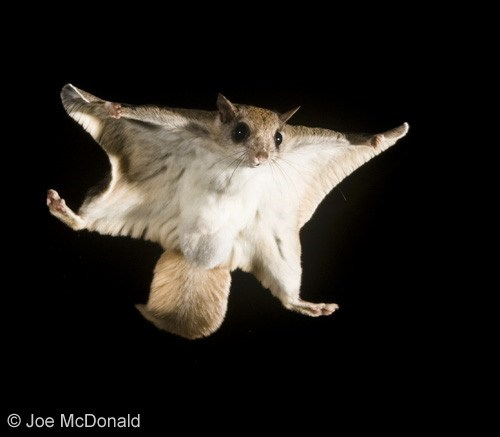 Squee Spree: Flying Squeerel!
